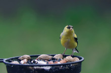American Goldfinch Sitting At ...