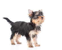 Yorkshire Terrier Puppy Stads In Side View And Looks Away And Up. Isolated On White Background