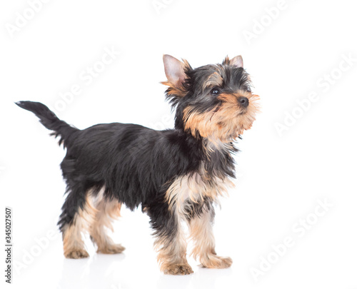 Yorkshire Terrier puppy stads in side view and looks away and up Billede på lærred