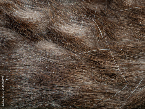 Vászonkép bad hair of a Siamese cat with dandruff close up