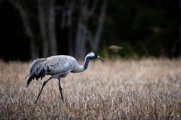 crane bird in the field
