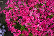 canvas print picture - pink phlox subulata flowers flowers grow on a personal plot.