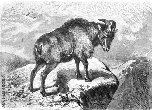 Fotografie, Tablou Alpine ibex (Capra bubalina )/ Antique illustration from Brockhaus Konversations