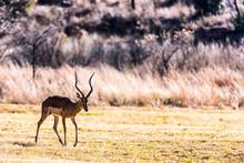 Male Impala (Aepyceros Melampus)