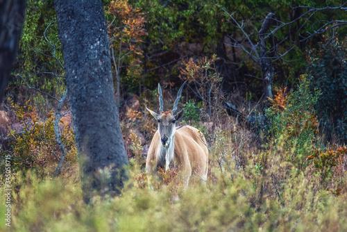 Photo A common eland (Taurotragus oryx) antelope