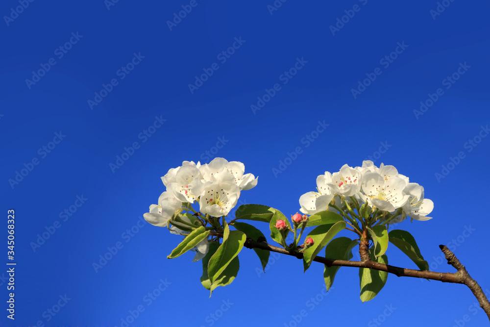 Fototapeta Białe kwiaty na gałęźi drzewa, na tle niebieskiego nieba, błękitne niebo.
