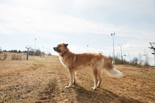 Dog Alone In A Spring Landscape With Ski Lift
