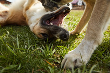 Two Dogs Friends Fighting And ...