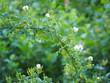 arco vegetal de pequeñas flores con petalos color blanco y anteras de tono naranja, lerida, cataluña, españa, europa