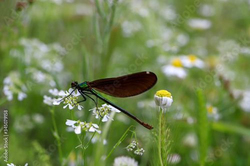 Maize beetle, dragonfly, helicopter beetle; Anisoptera, odonata. Canvas Print