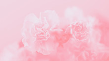 Light Pink Carnation Flowers, ...