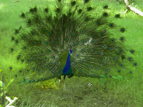 Photo Indian Peacock Dancing In National Park India Photos Images