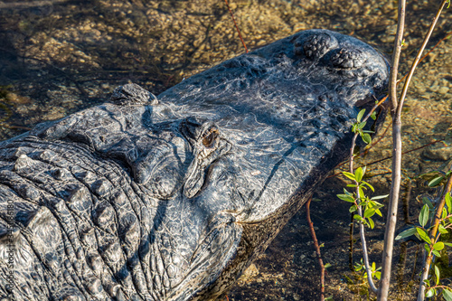 Portrait of an american alligator lying on the shoreline in the water Canvas Print