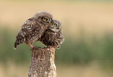 Two Owl Cubs, Owls (Strigiformes) On The Branch.