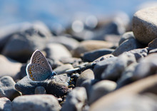Blue Butterfly Sits On River ...