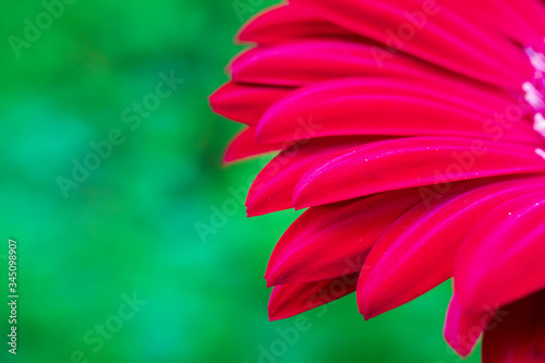 Gerbera jamesonii is indigenous to South Eastern Africa and commonly known as th Canvas Print
