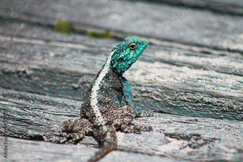 Photo male southern rock agama looking back