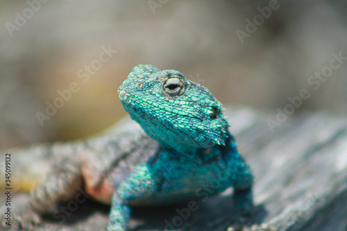 close up portrait of a male southern rock agama Wallpaper Mural