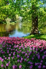 Amazing Blooming Colorful Tuli...