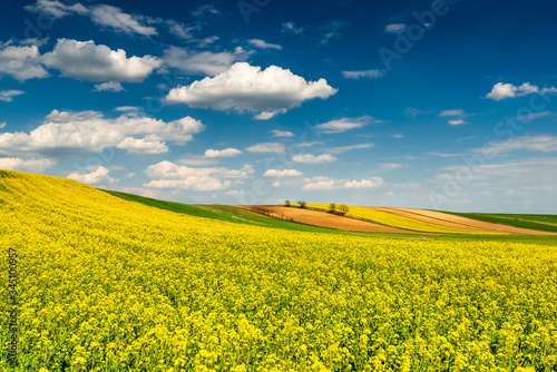Picturesque Countryside Landscape. Blooming Rapeseed or Canola Fields,Green Rows and Trees