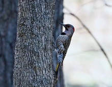 The Northern Flicker On Spring...