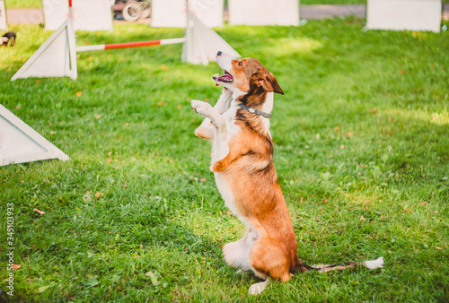 The dog sits with a straight back on its hind legs, raising its front paws Canvas Print