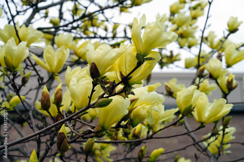 Yellow magnolia flower on a tree in Spring
