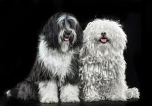 Tibetan Terrier And Puli Dog, ...