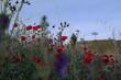 maki kwiaty zieleń czerwień krajobraz niebo