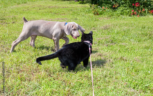 Weimaraner puppy and a black cat in harness getting acquainted Canvas Print