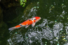 A Large Spotted Red Carp Swims...