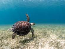 Green Turtle Swimming, Puerto ...