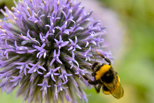 A Bumblebee On A Vivid Violet ...