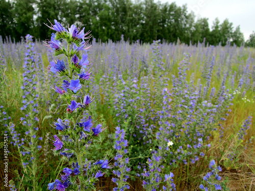 Summer field of Viper's bugloss or Blueweeds, plant that native to most of Europe, western and central Asia Tapéta, Fotótapéta