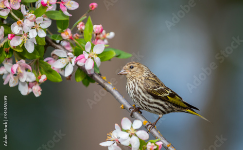 A Pine siskin  Spinus pinus  perches on a branch of a flowering cherry tree Wallpaper Mural