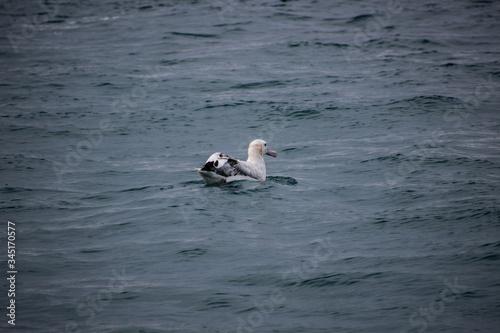 Fotografija Albatross