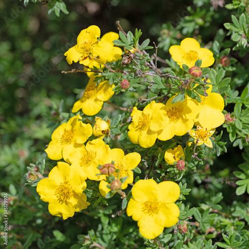 Blühender Fingerstrauch, Potentilla fruticosa, in einer Nahaufnahme Fototapet