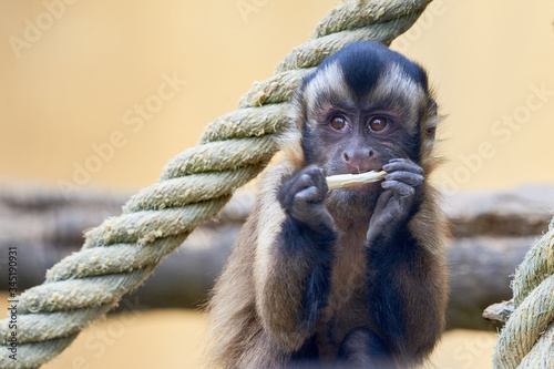 Young Tufted capuchin or brown capuchin (Sapajus apella) Fototapeta