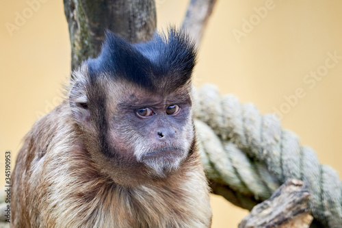 Fotografering Tufted capuchin or brown capuchin (Sapajus apella)
