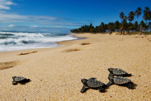 Group Of Hatchling Hawksbill S...