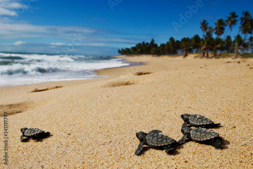 Group of hatchling hawksbill sea turtle (Eretmochelys imbricata) crawling on the Canvas-taulu