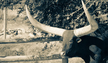 Bull By A Fence
