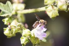 Honey Bee On Purple Flower. Honeybee Working On Growing Flowers Field Closeup. Macro. Blooming Violet Fragrant. Nature Background. Bee On Flower.