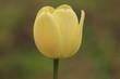 żółty  tulipan  na  szarym  tle