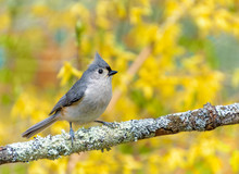 Tufted Titmouse, A Grey Bird Perched In Front Of Bright Yellow  Forsythia Flowers