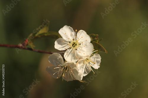 Fotografia gałązka  z  białym  kwiatem  na  zielonym  tle