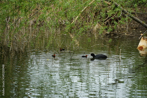 An Eurasian coot feeding its baby  swimming in stagnant water of a river dead branch Canvas Print
