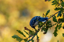A Young Blue Jay Tipped Forwar...