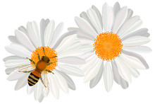 Close Up View Of The Bee On Camomile Flower