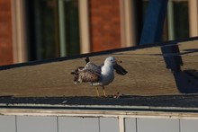 Gull On The Rooftop Of A Build...